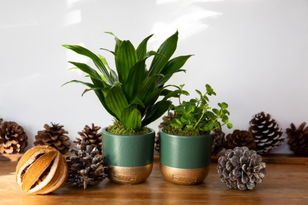 Christmas Mini Peperomia Rotundifolia next to mini Dracaena Head both in gold and green pots with pine cones next to them