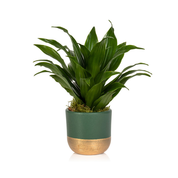 Christmas Mini Dracaena Head in green and gold pot