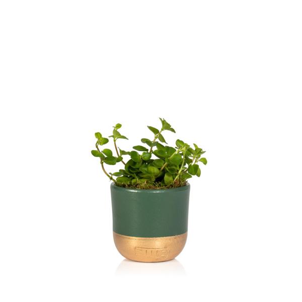 Christmas Mini Peperomia Rotundifolia