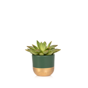 mini gold tipped miranda in green and gold pot