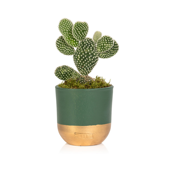 Bunny Ear Cactus in Green and Gold Pot