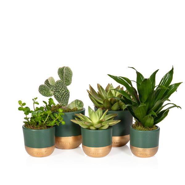 Houseplants perfect for Christmas gifts