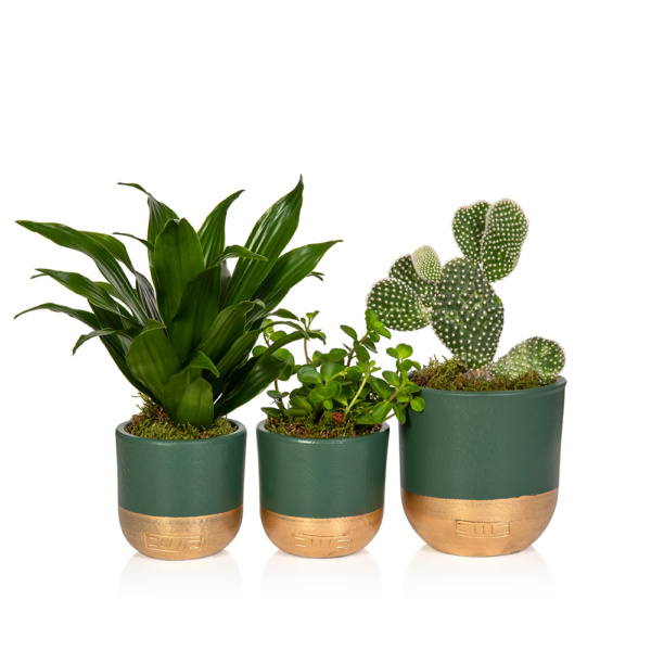 Cactus in green and gold pot