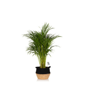 Large Areca Palm houseplant in black belly basket