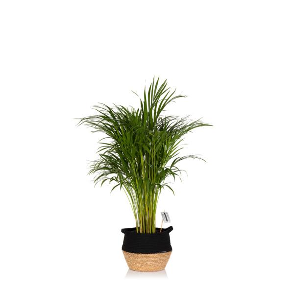 Large Areca Palm houseplant in black belly basket