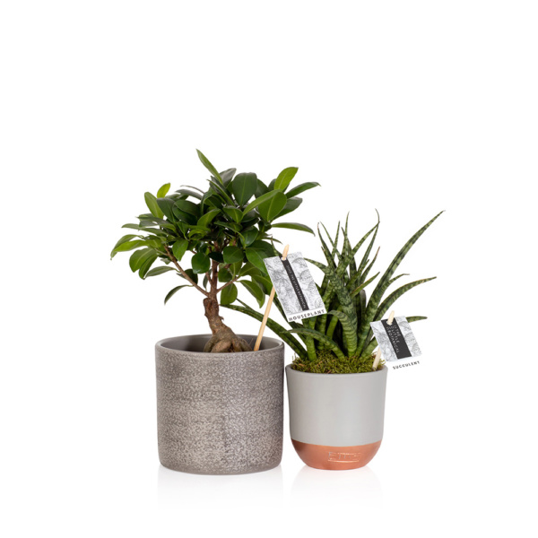zen bundle of plants with ficus ginseng and sansevieria
