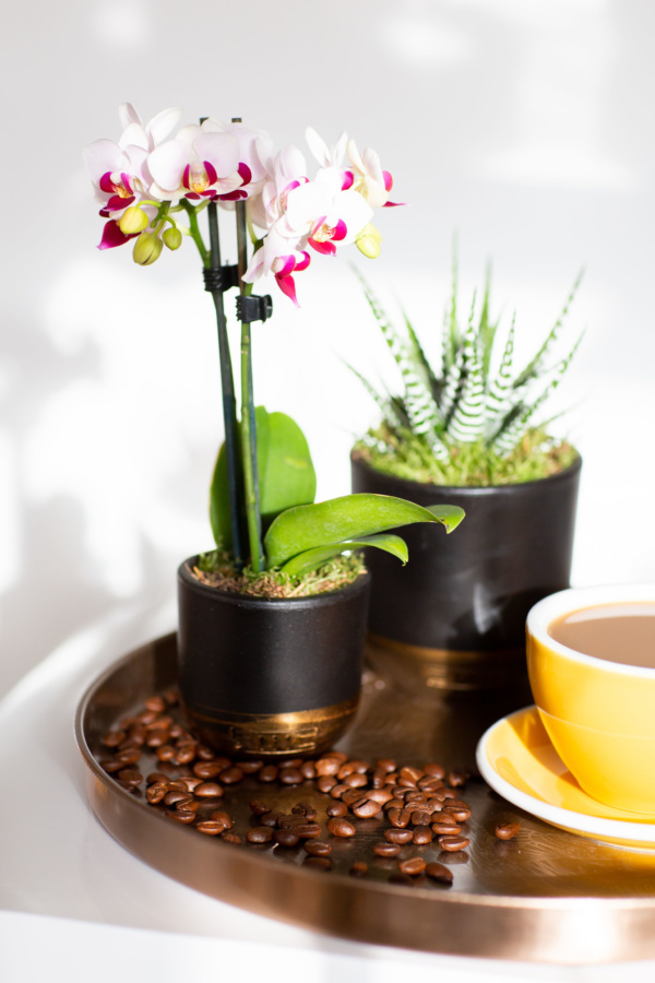 micro orchid in black and gold pot