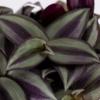 tradescantia leaves