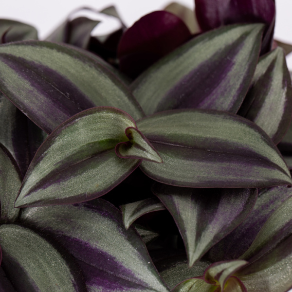 tradescantia leaves