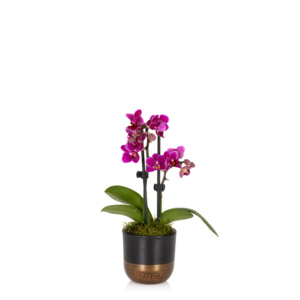 mini mauve orchid in black and gold pot
