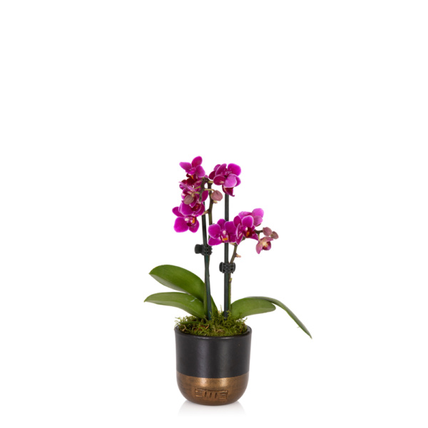 mini mauve orchid in black and gold pot
