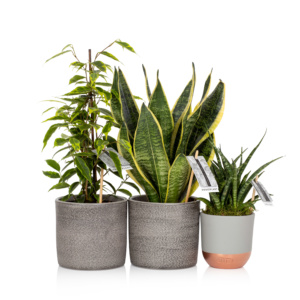 air purifying bundle - a Sansevieria Punk, a Ficus Benjamina and a Snakey Sansevieria