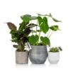 monstera plant gang