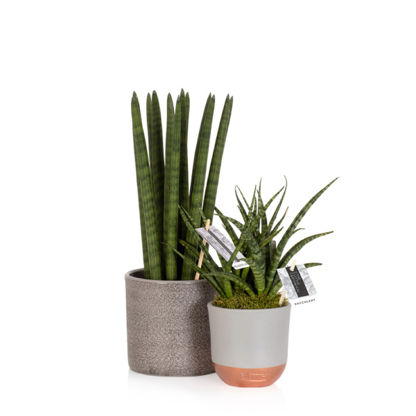 spiky Sansevieria and Sansevierias punk in grey pots