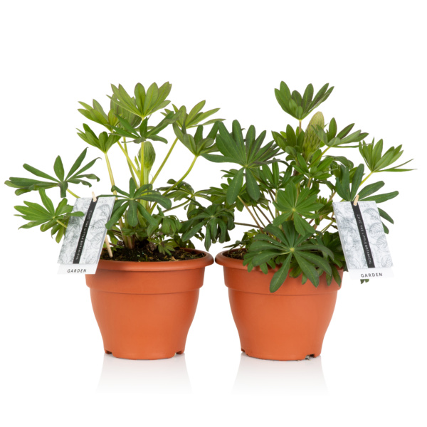 two potted lupin plants