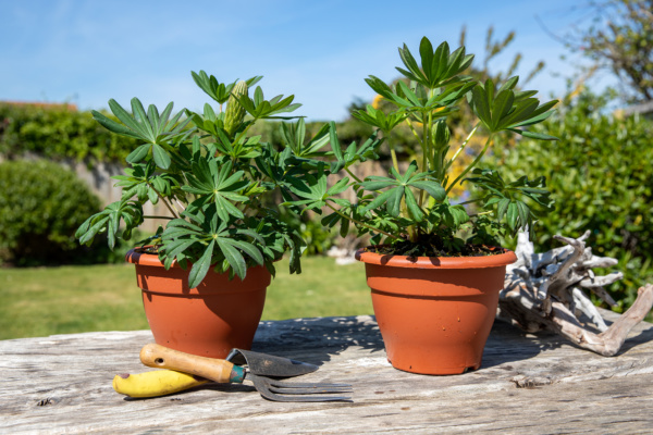 two potted lupins