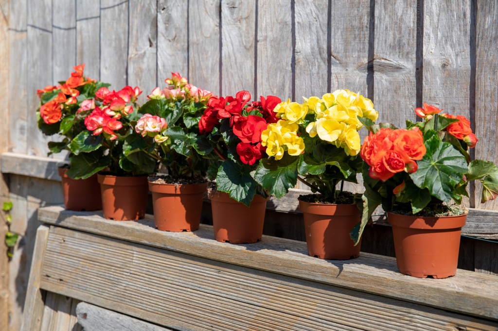 collection of six potted begonias