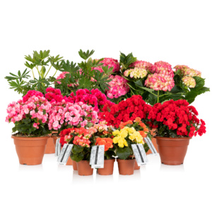 selection of begonias, lupins, betulias and hydrangeas