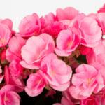 light pink betulia close up