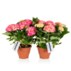 two potted pink hydrangeas