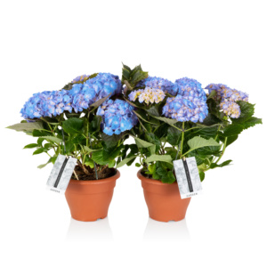 two potted blue hydrangeas
