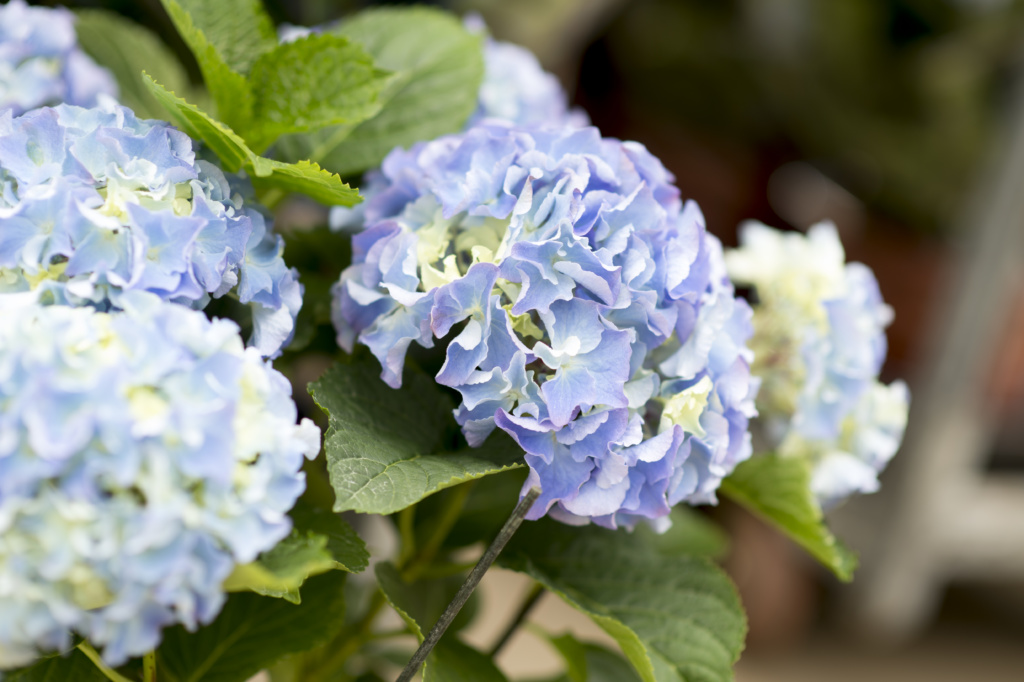 close up of blue hydrangea flowers
