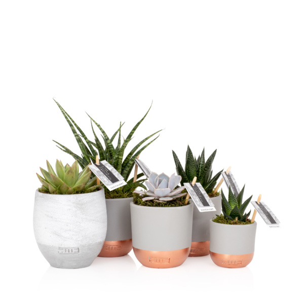 succulent plant gang of five succulents