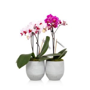 mini orchid duo pink and white in grey pots