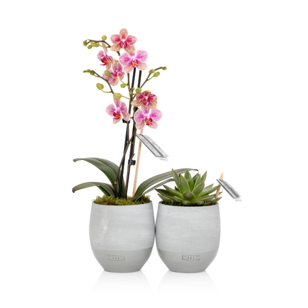 orchid and succulent miranda in grey pots