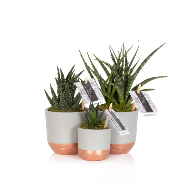 desk plant gang - three spiky succulents in grey and copper pots