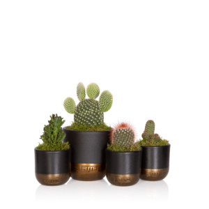 group of four mini cacti