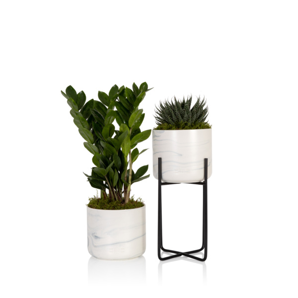 Large Haworthia Succulent planter stand and Zamioculcas Houseplant in a marble pot