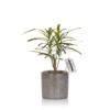 Croton Pictum houseplant