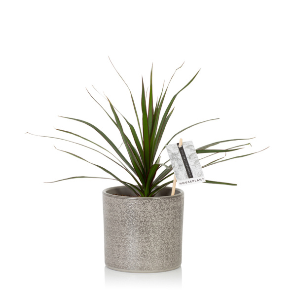 Dracaena in grey pot
