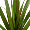 Close up of dracaena leaves