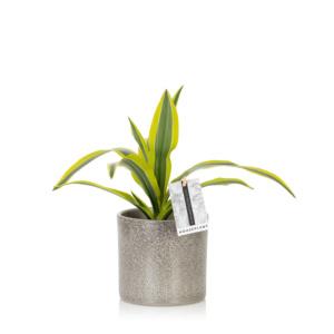 Leafy lemon and lime Dracaena in grey pot