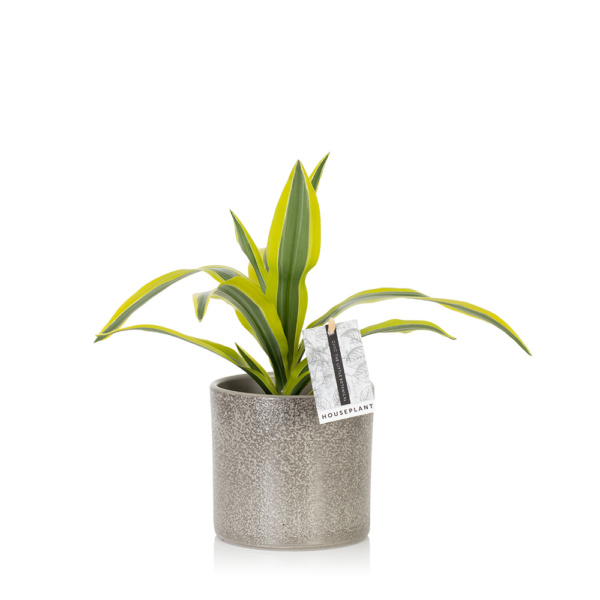 Leafy lemon and lime Dracaena in grey pot