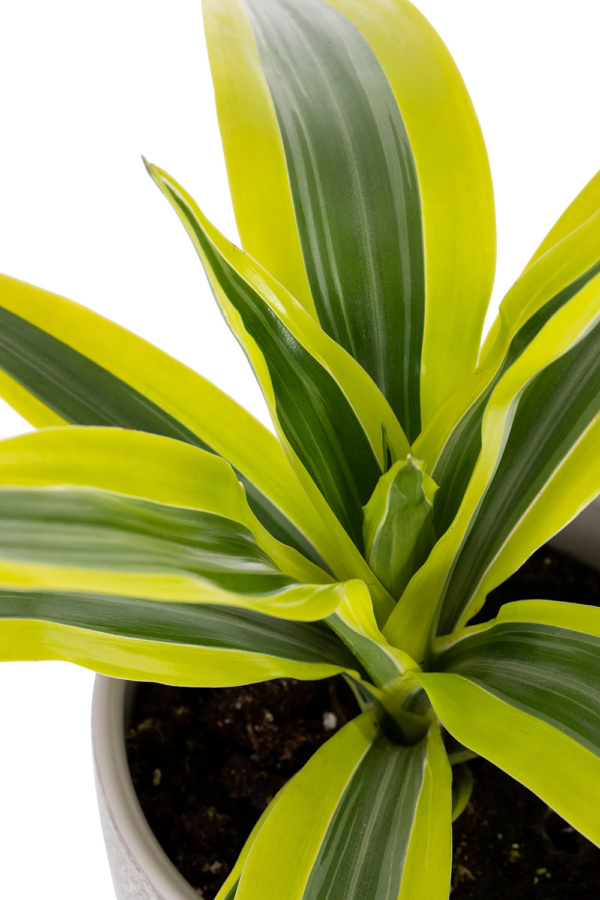 Close up shot of leafy lemon and lime Dracaena leaves