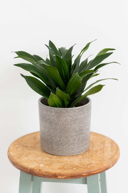 Dracaena Compacta Houseplant | Online House Plants | UK ...
