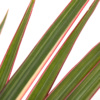 Close up of Dracaena Marginata Bi-colour leaves