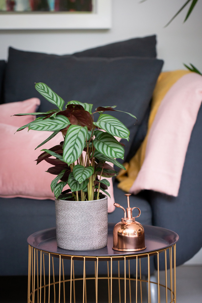 calathea plant in grey pot on side table next to copper mister