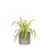 spider plant- Houseplant