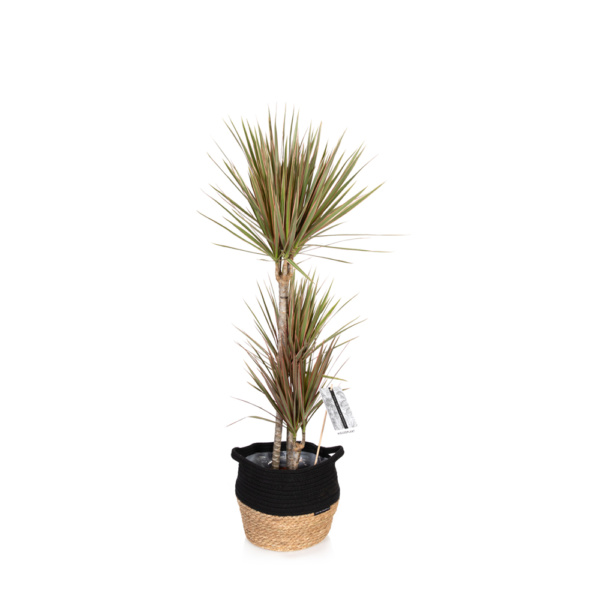 Bi-colour dracaena with pink and green leaves in belly basket