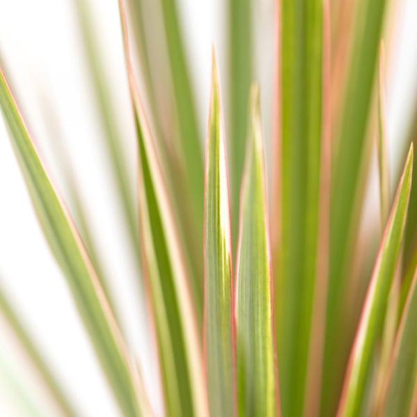 Close up of bi-colour dracaena leaves
