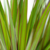 Close up of dracaena marginata leaves