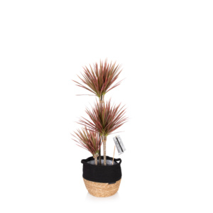 Colourful pink dracaena in a belly basket