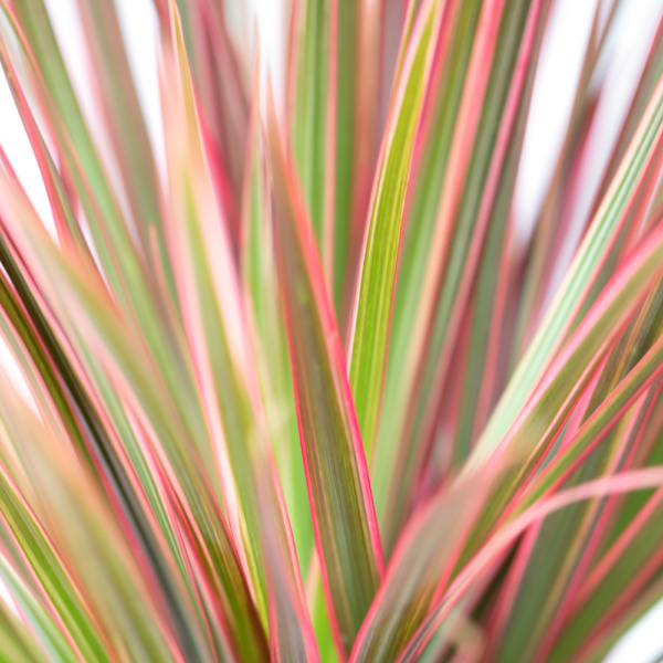 Close up of pink and green colourama dracaena leaves