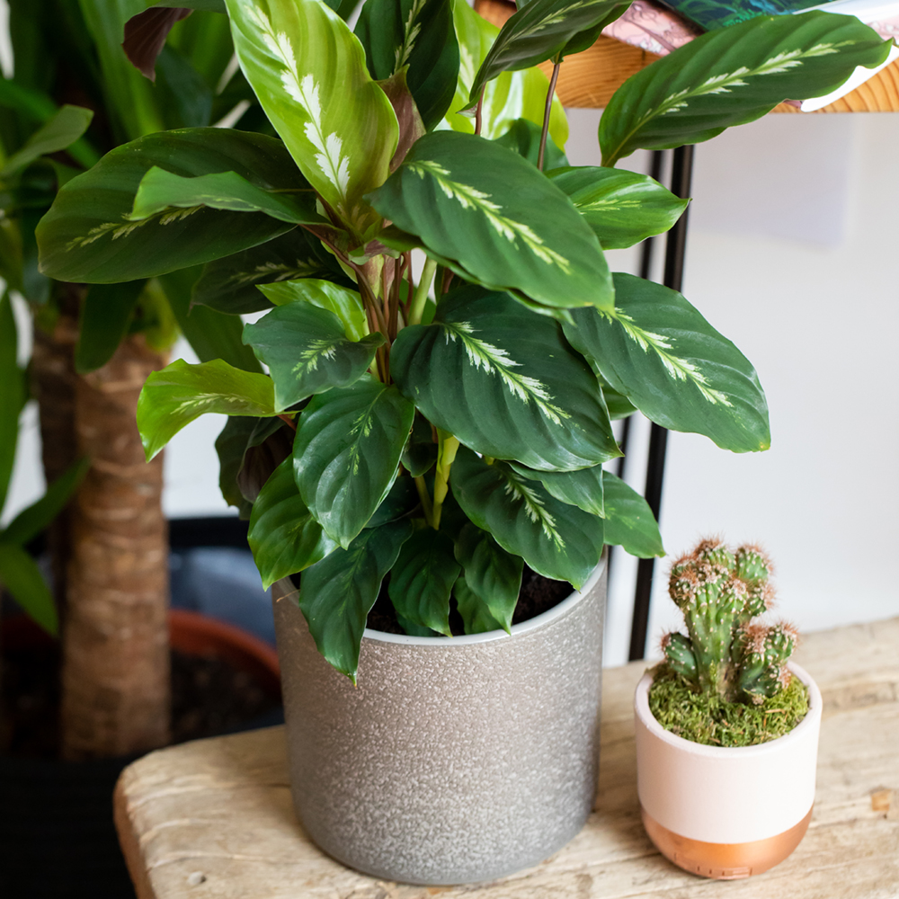 Calathea plant in grey pot on table next to mini cactus in pot