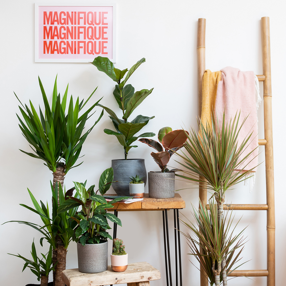 Calathea in grey pot on wooden stool next to mini cactus and with other plants in the background