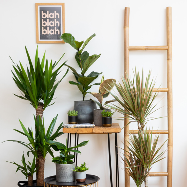 Bi colour dracaena next to a ladder and other house plants
